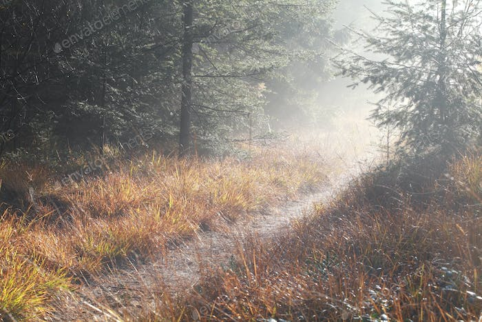 path in coniferous forest during foggy sunny morning