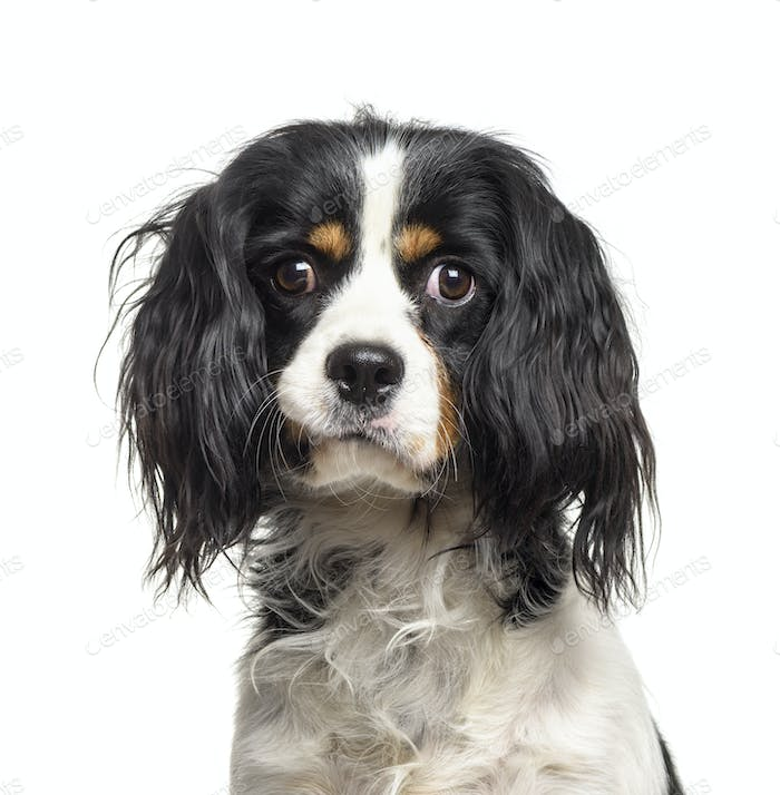 Close-up of a Cavalier King Charles dog, cut out
