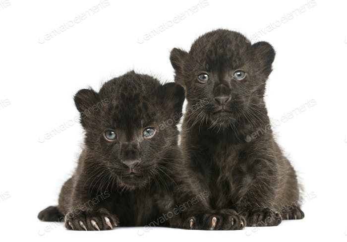 Two Black Leopard cubs lying down, 3 weeks old, isolated on white