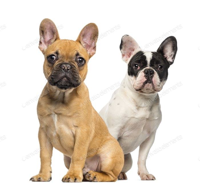 Two French Bulldog puppies, 4 months old, sitting next to each other, isolated on white