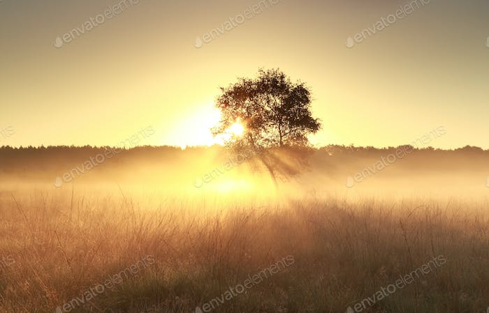 tree in mist at sunrise