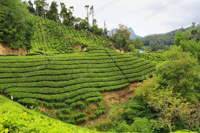 Tea plantations between Yellapatty and Top station in Munnar, Kerala, India