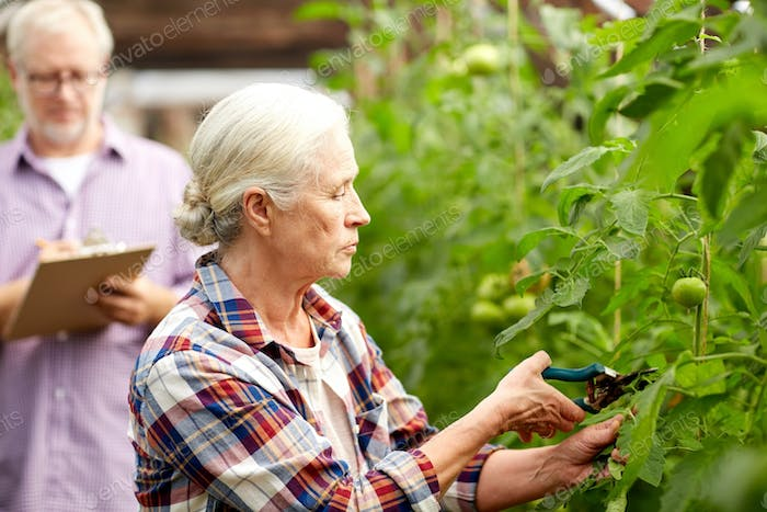 senior woman with garden pruner at farm greenhouse