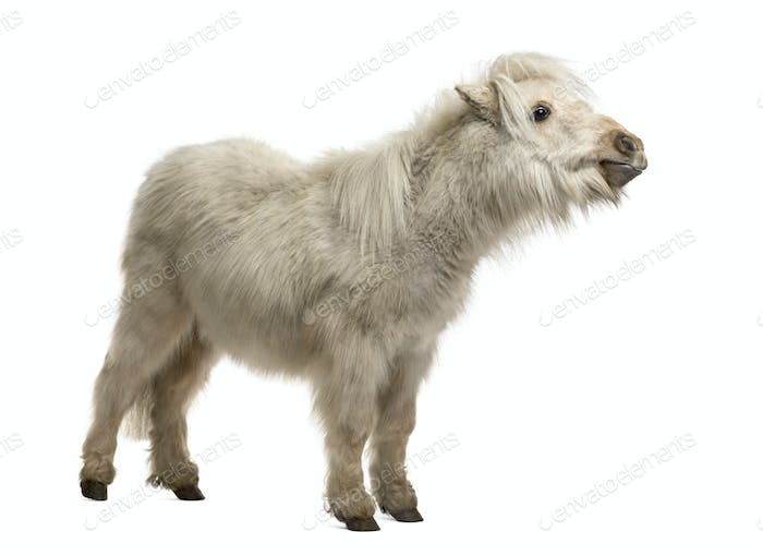 Thumbnail for Shetland Pony isolated on white