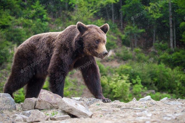 Europäischer Braunbär in einer Waldlandschaft