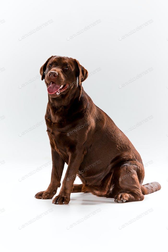Der braune Labrador Retriever auf weiß