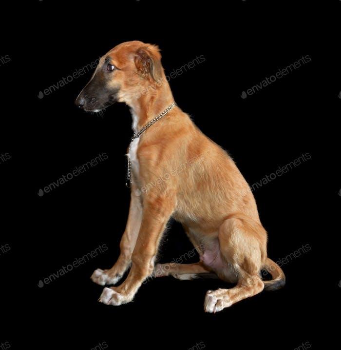 Маленький щенок русской борзой собаки