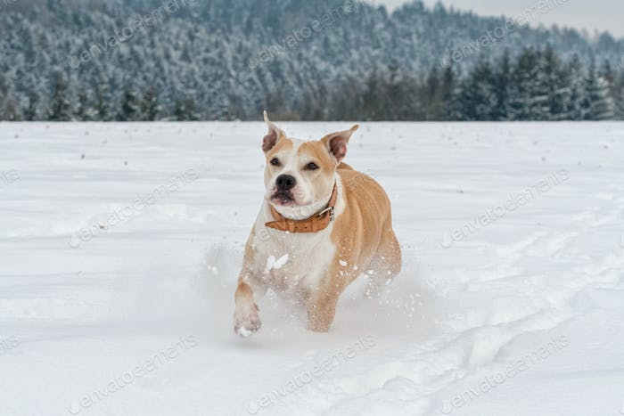Corre Staffordshire bull terrier