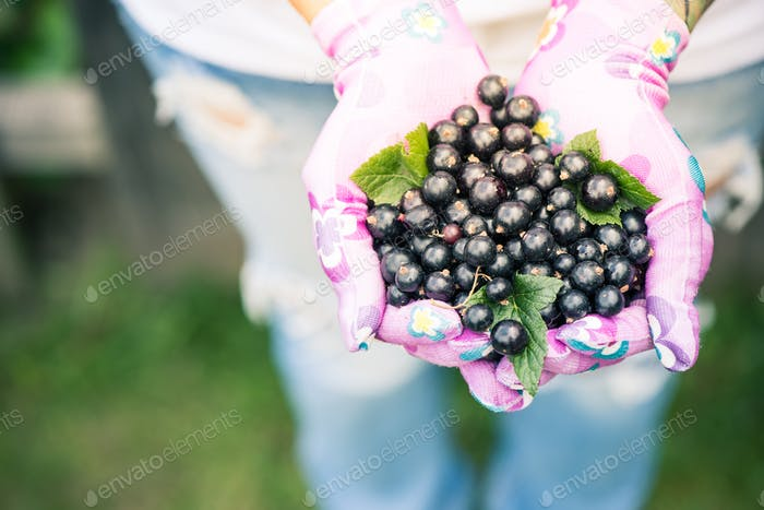 Woman hands holding fresh blackcurrant fruits in garden