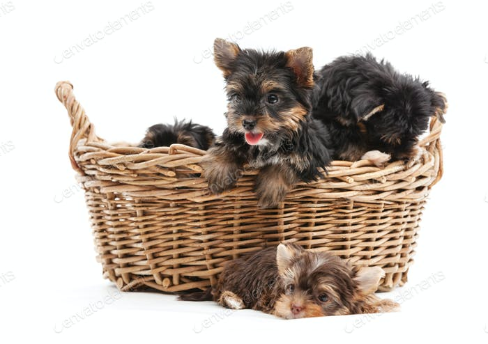 Yorkshire terrier puppies in and beside a basket over while