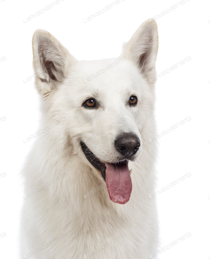 Close-up of a Swiss Shepherd dog, 5 years old, panting and looking away in front of white background