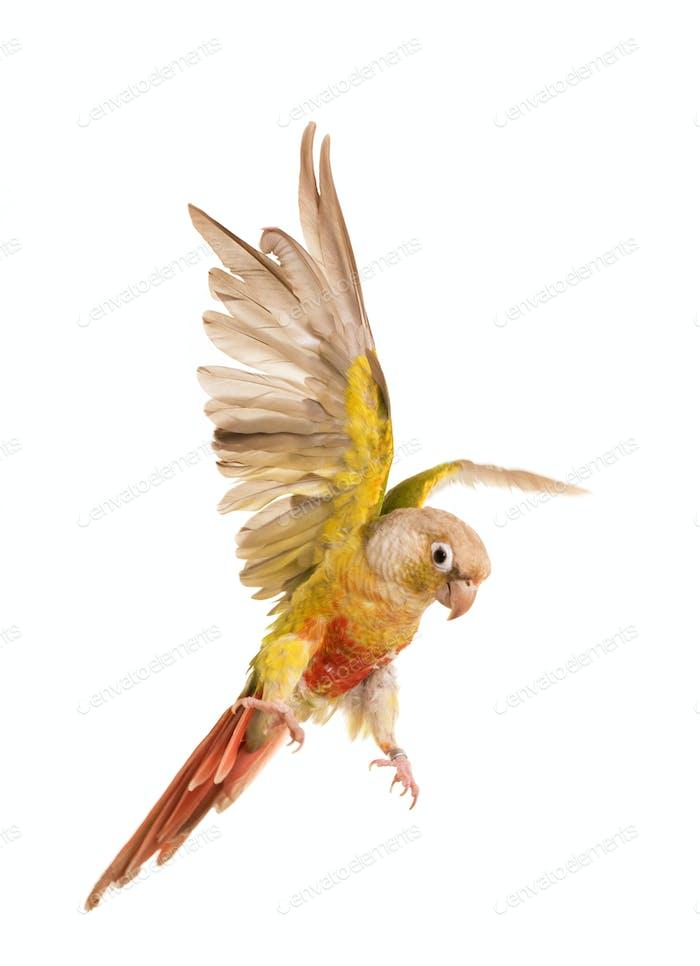 flying Green-cheeked parakeet