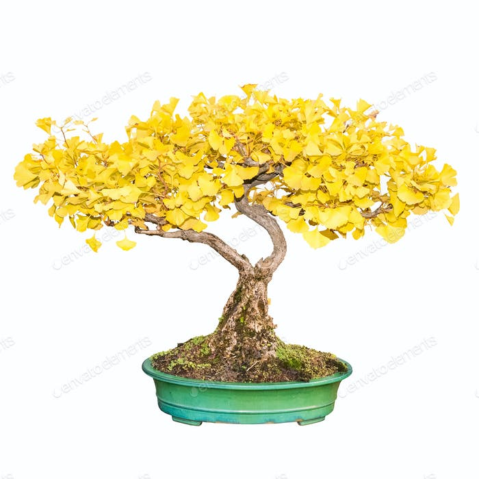 bonsai tree of ginkgo