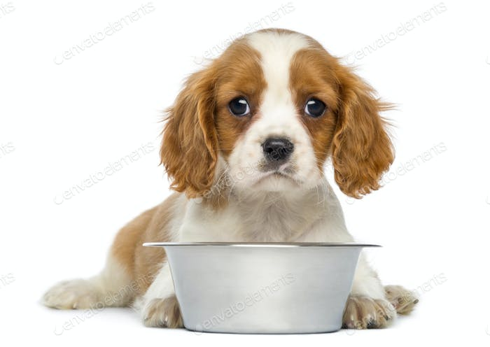 Cavalier King Charles Puppy lying in front of an empty metallic dog bowl