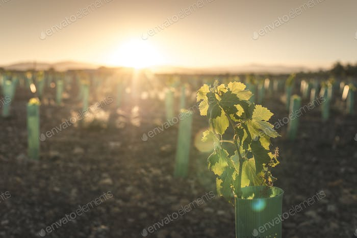 Young vineyards at sunset