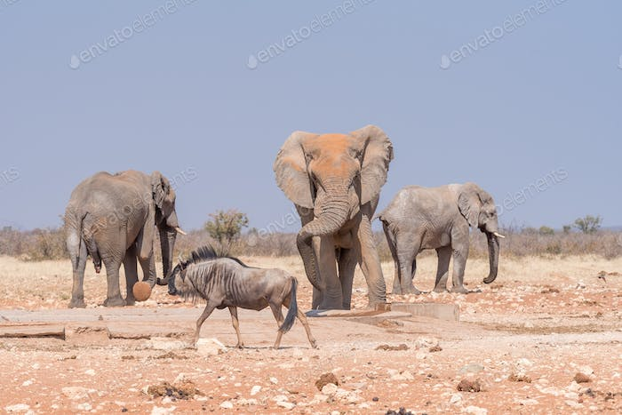 Three african elephants and blue wildebeest at the Rateldraf waterhole