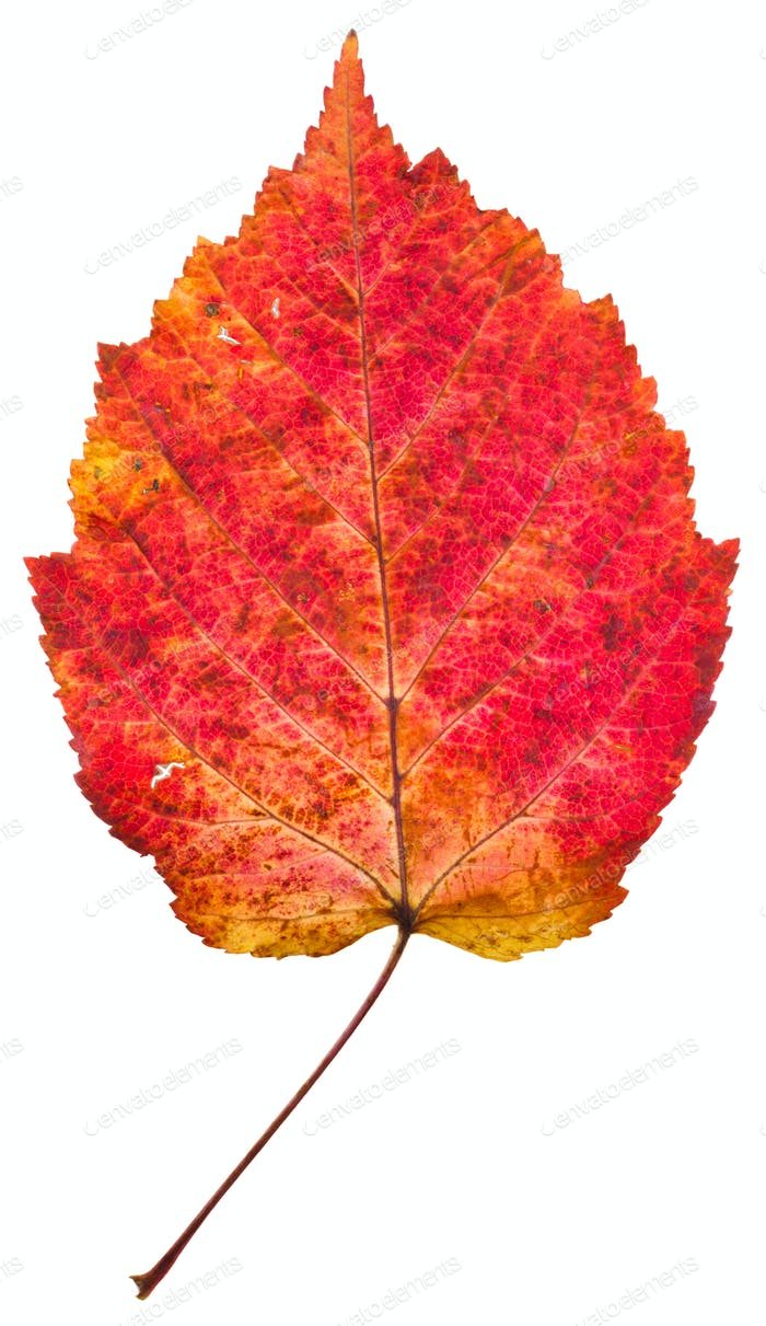 one autumn red aspen leaf