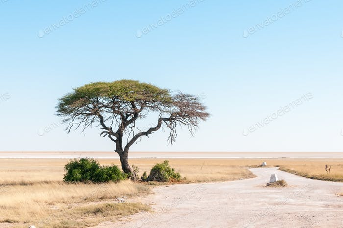 Tree with Etosha Pan in northern Namibia in the back