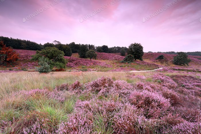 road between pink hills with flowering heather at sunset