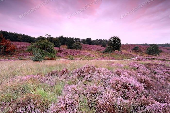 Straße zwischen rosa Hügeln mit blühenden Heidekraut bei Sonnenuntergang
