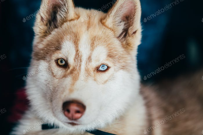 Young Happy Husky Puppy Eskimo Dog With Multicolored Eyes