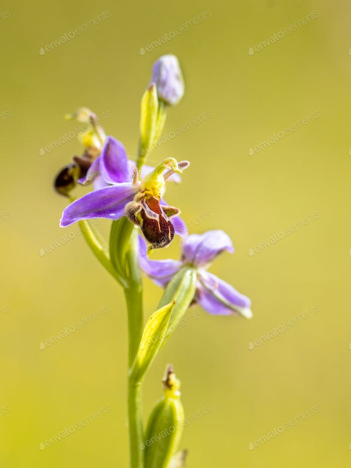 Pink flowers of Bee orchid detail