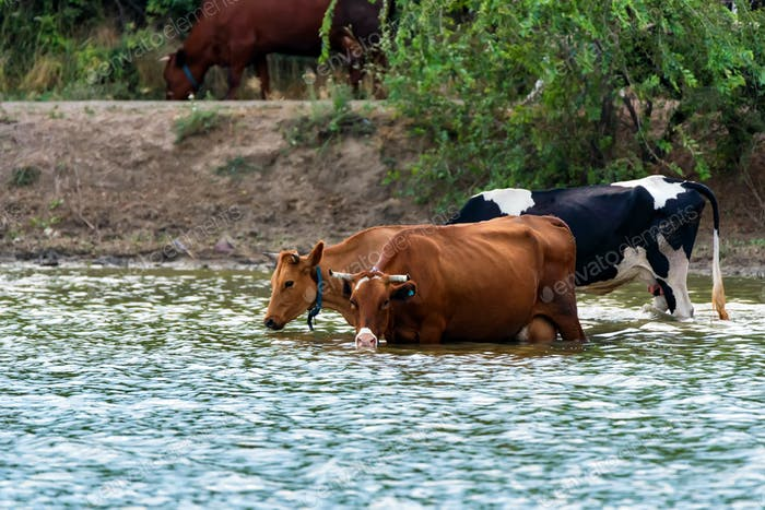Cows drink water from river