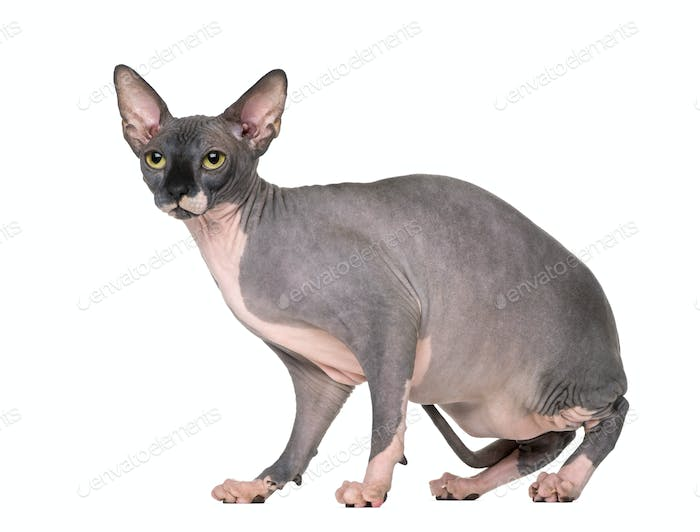 Sphynx sitting and looking away, isolated on white