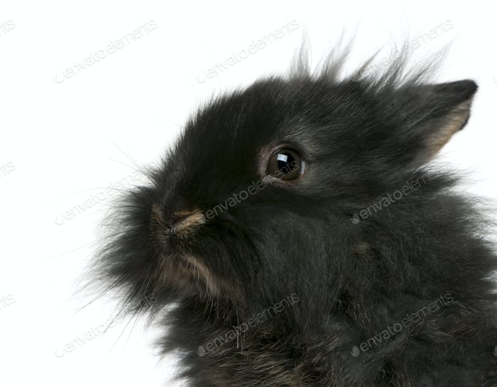 Close-up of young Lionhead rabbit, 2 months old, in front of white background