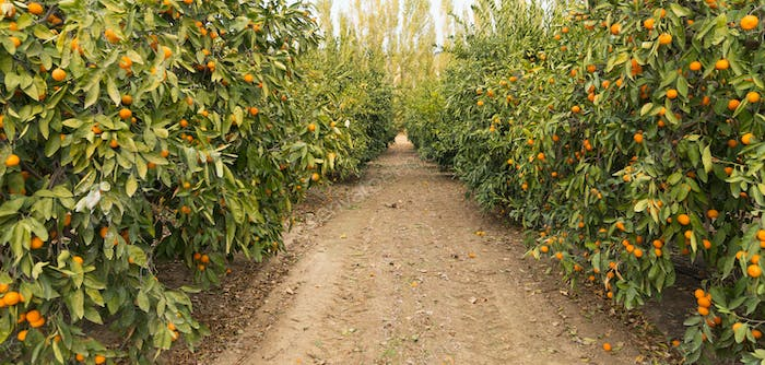 Raw Food Fruit Oranges Ripening Agriculture Farm Orange Grove