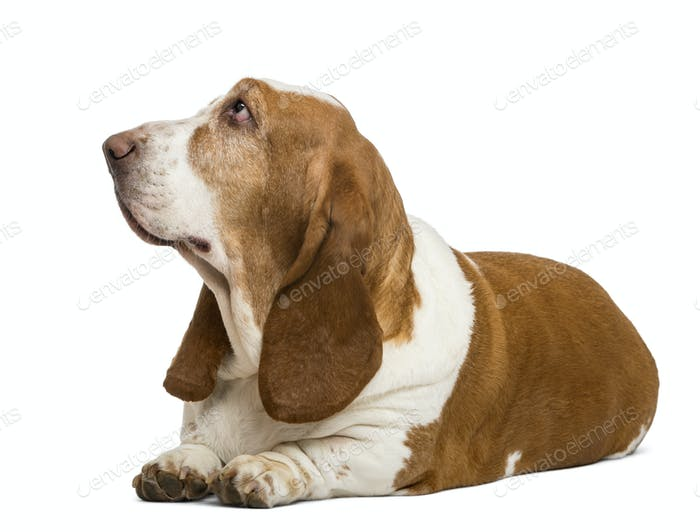 Basset Hound lying and looking up, isolated on white
