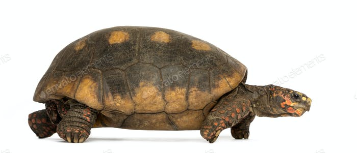 Side view of a Red-footed tortoise walking, Chelonoidis carbonaria, isolated on white