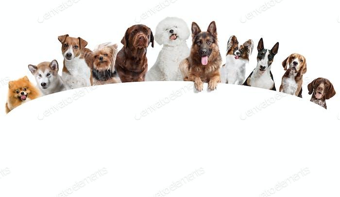 Unterschiedliche Hunde betrachten Kamera isoliert auf einem weißen Hintergrund