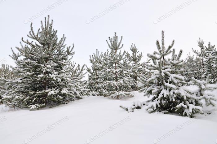 Молодые снежные ели растут в лесу