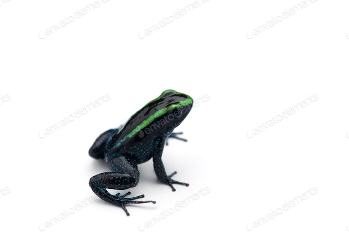 The Poison dart frog isolated on white background
