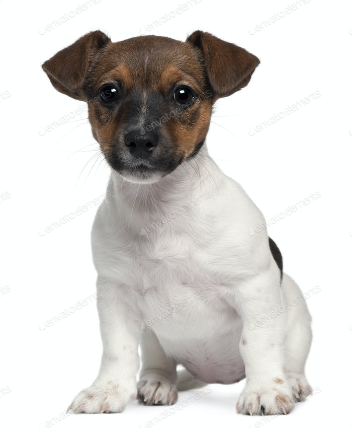 Jack Russell, 3 months old, sitting in front of white background