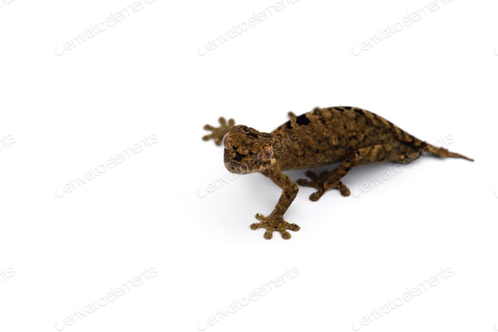 The satanic leaf-tailed gecko isolated on white background