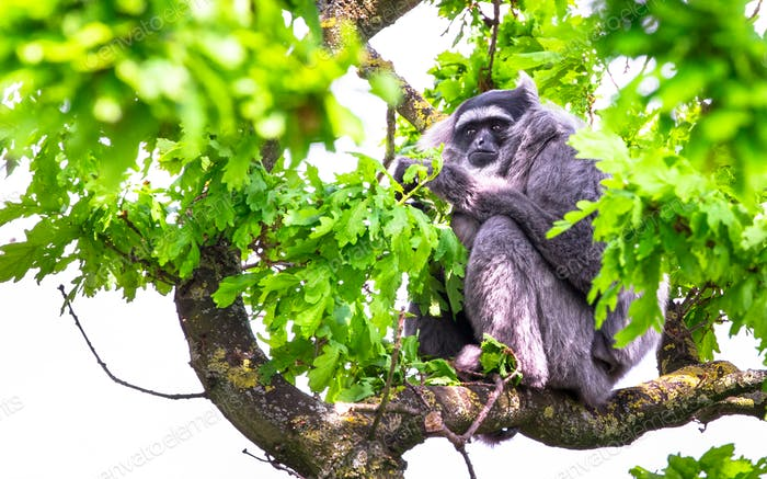 Silvery Gibbon in a Tree