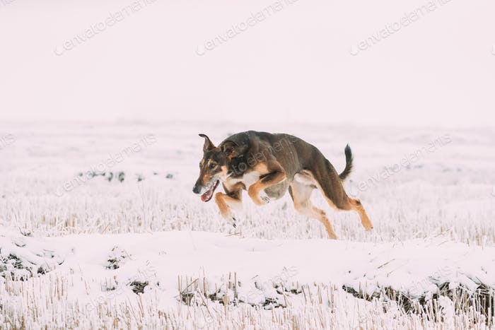 Hunting Sighthound Hortaya Borzaya Dog Fast Running During Hare-hunting At Winter Day In Snowy Field
