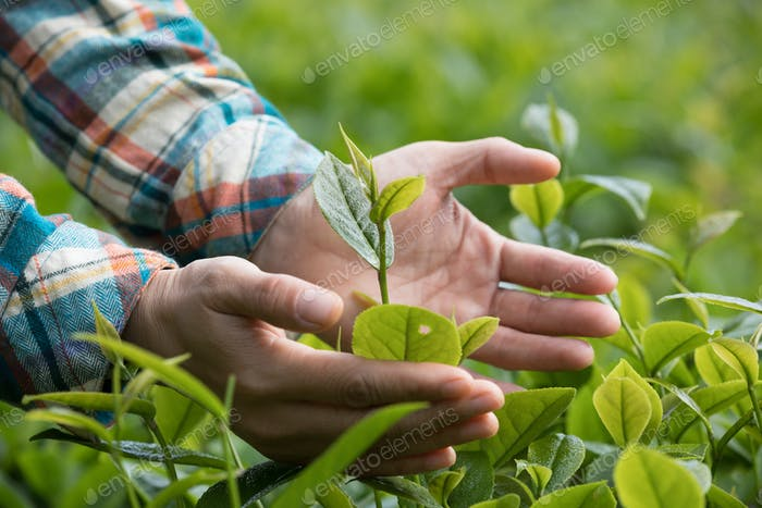 Hands protect the green spring tea leaves