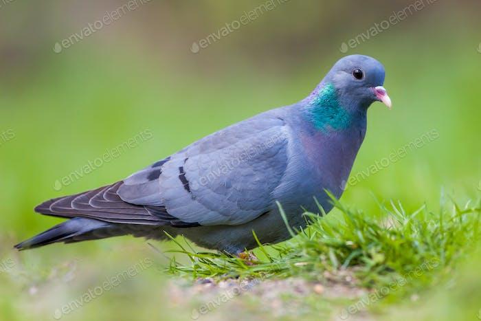 European Stock dove