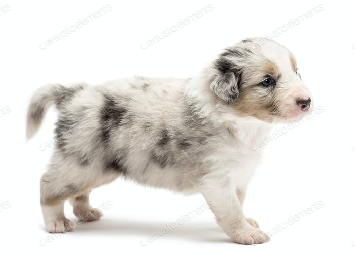 Australian Shepherd puppy, 24 days old, standing against white background