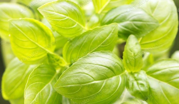 Fresh green basil leaves background