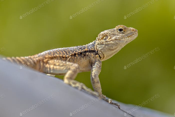 Sling-tailed Agama climbing looking up