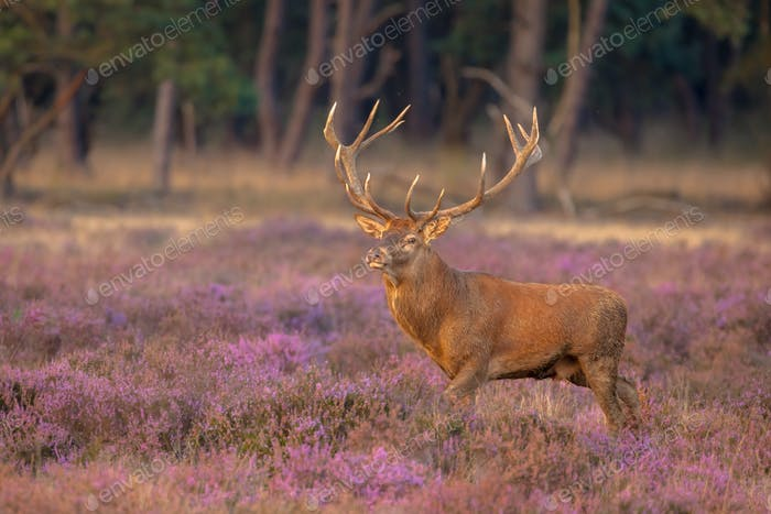 Male red deer antlers