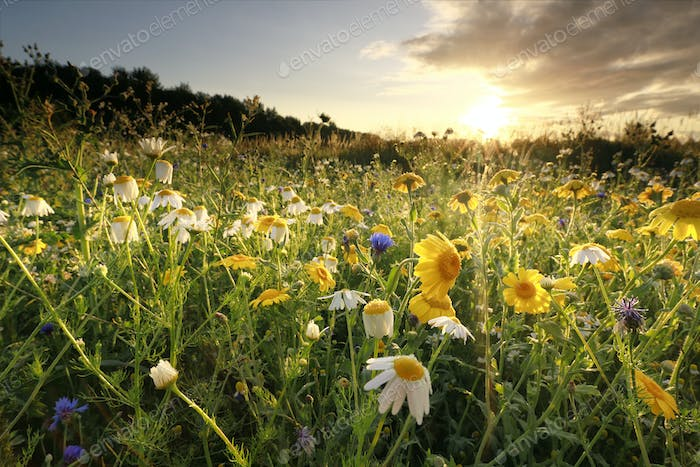 gold sunrise over meadow with chamomile flowers