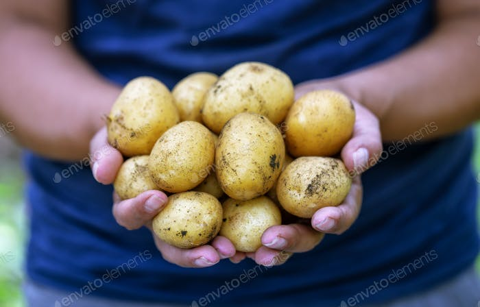 Harvest of potatoes in hands of farmer