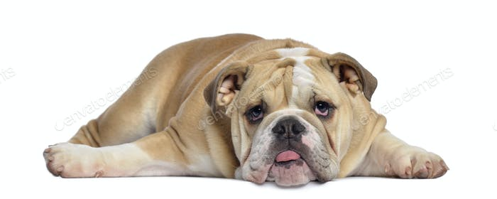 English Bulldog puppy, 5 months old, lying exhausted, isolated on white