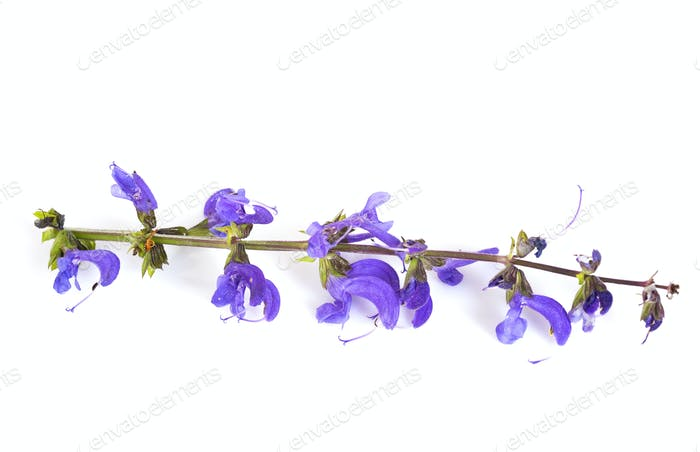 wild salvia in studio