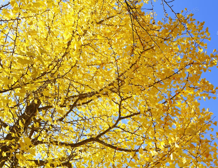 Yellow gingko tree with clear blue sky
